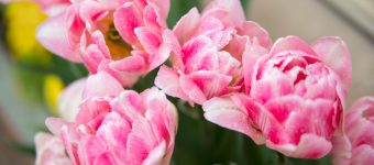 Explore the Tulips of Holland's Tulip Time Festival